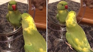 Parrot plays peekaboo with himself in the mirror