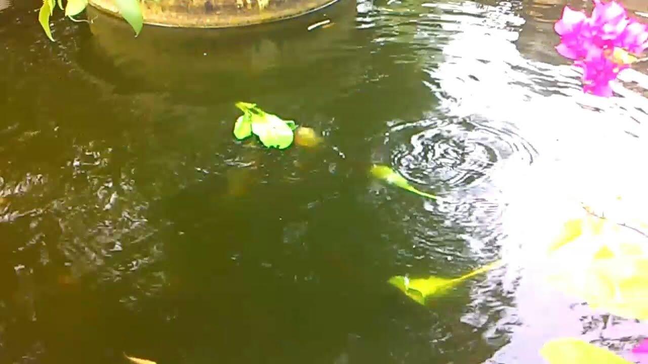 Unduh 4200 Gambar Ikan Bawal Di Kolam HD Terbaru