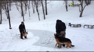 Dog Training. Teaching And Correction. German Shepherd Tyler