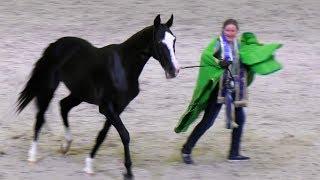 Красивый вороной жеребец Джамал Гели Ахалтекинская порода лошадей #ИППОсфера #Hipposphere #AkhalTeke