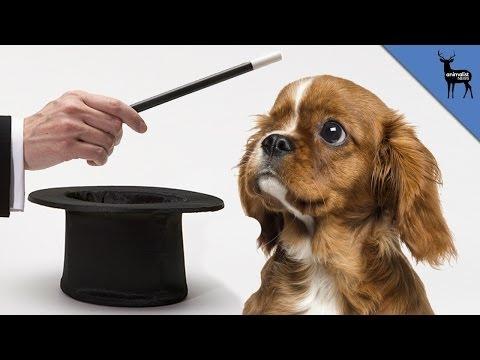 Do Dogs Understand Magic Tricks?