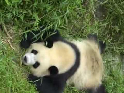 The Chengdu Panda Breeding and Research Center