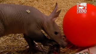 Baby Aardvark Winsol is Getting Big - Cincinnati Zoo
