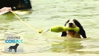 Испанская водяная собака. Планета собак 🌏 Моя Планета