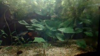 Гидра в аквариуме