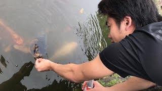 鯉に餌をあげるシルクがすごく楽しそう!! thumbnail