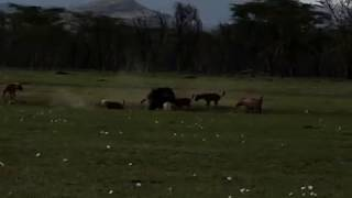 Repeat youtube video Rhinos police the animal kingdom - You won't believe this