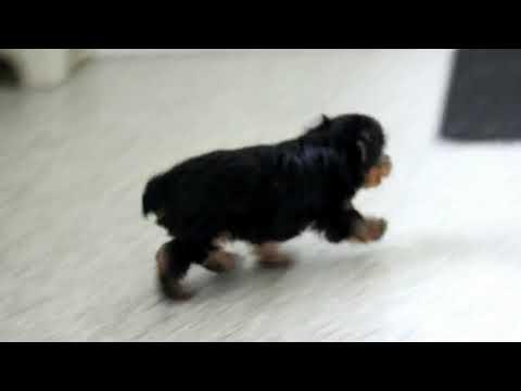 Yorkshire Terrier Puppy For Sale Elmer Zook