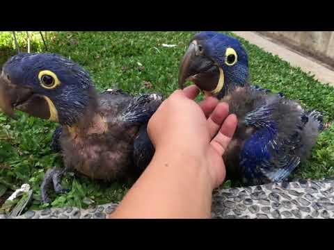 Гиацинтовый ара с яйца до полета взрослой птицы.Индонезия.