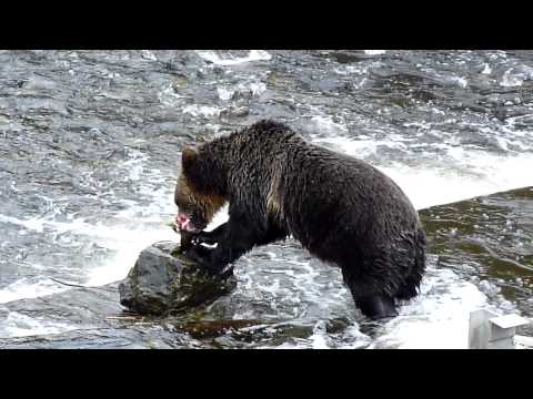 Grizzly Bear Salmon Fishing
