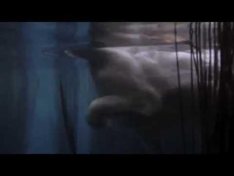 Secret Life of Cats: Cat swimming - Turkish Van