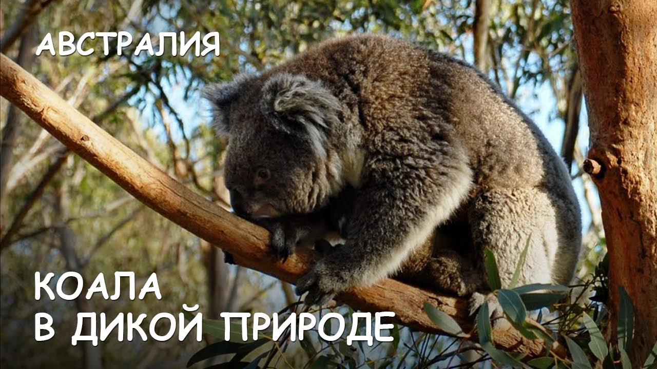 Мир Приключений - Коала в дикой природе. Лучший отдых в Австралии. Koala. Australia.