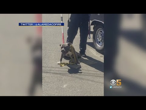 Pit Bull Attacks Fire Chief Responding To San Leandro House Fire