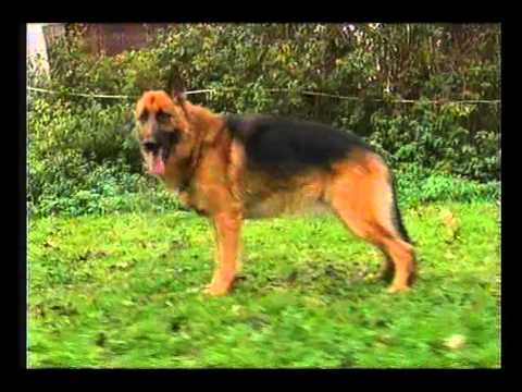 fd0844d0515c γερμανικός ποιμενικός - YouTube