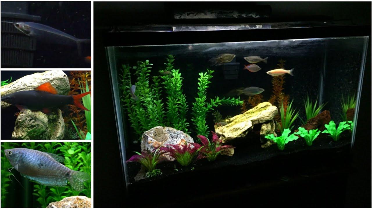 Freshwater aquarium fish rainbow shark - My 30 Gallon Fish Tank 60fp Rainbow Shark Glass Ghost Catfish Neon Tetras More Youtube