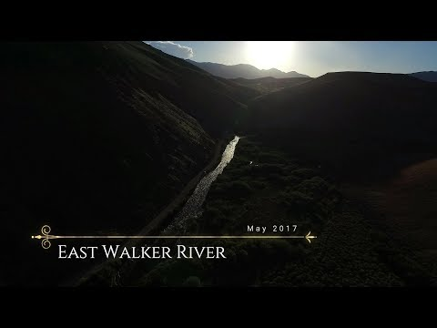 Big Horn Sheep On the East Walker River - May 2017