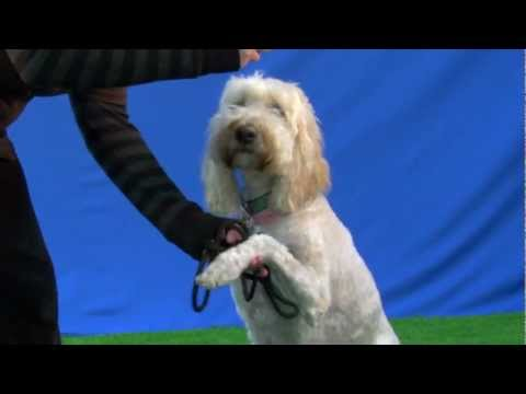 Cute Adorable Dog Performs Tricks for Talent Hounds