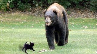 Kitten Attacks Bear In Backyard