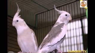 Обучение кореллы петь песню из Семейки Адамсов. Teaching cockatiel.