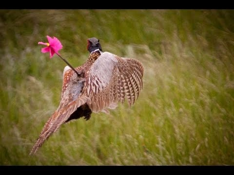 How to Hunt Pheasant with a Bow
