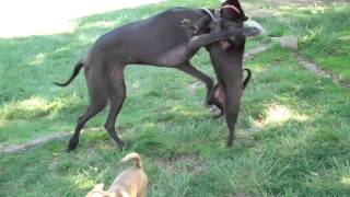Puzzy The Shar Pei Versus The Great Dane Part 1