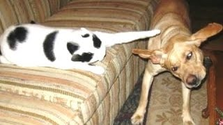 Смешные Собаки боятся Проходя мимо кошки! Сборник Новое HD
