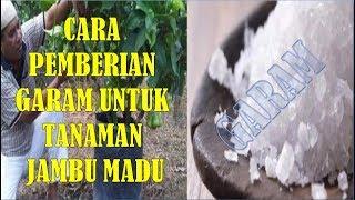 Video Takaran Garam Dapur Untuk Tanaman Jambu Madu Dan Cara Pemberiannya download MP3, 3GP, MP4, WEBM, AVI, FLV November 2018