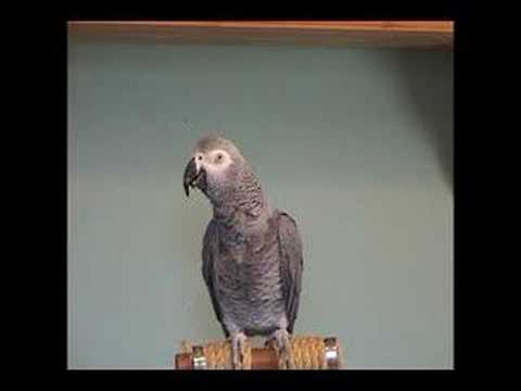 TigerBird African Grey Parrot Amazing Talking smart talk bird