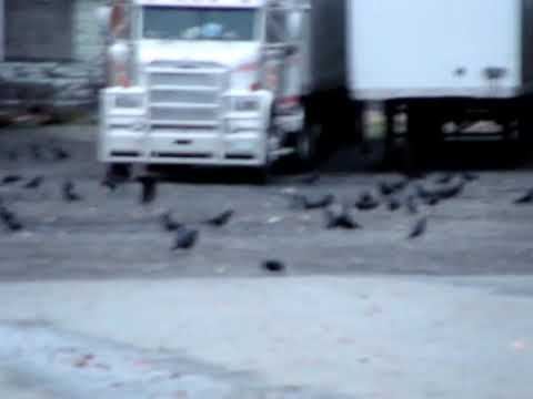 Burnaby BC Canada, Witness a Murder ... of Crows