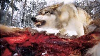 видео О волках. Общая информация
