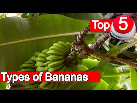 Top 5 Types of Bananas