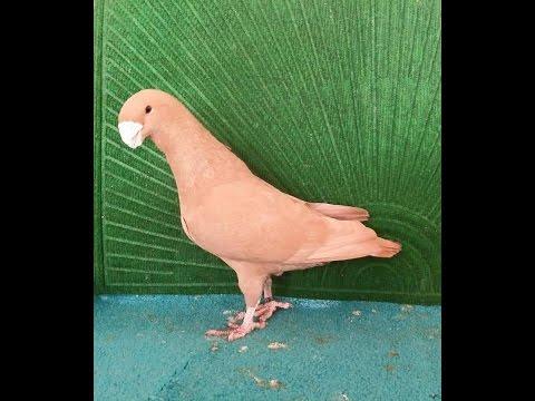 Exhibition class large size downface pigeons breeder pair Zain Ali 03459442750 farming in Pakistan