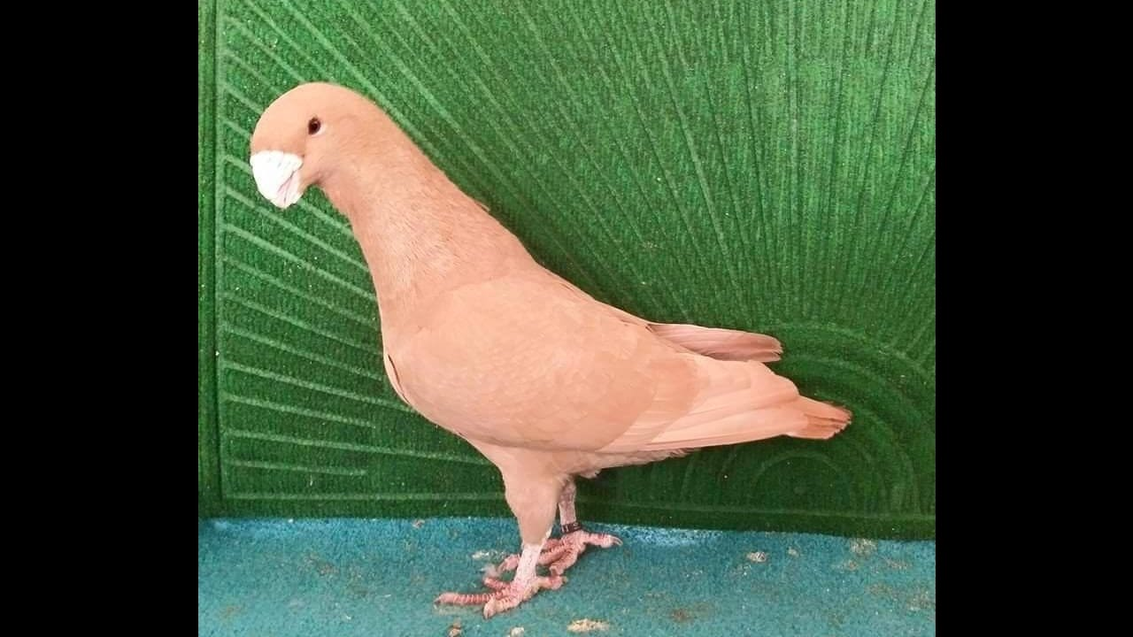 Exhibition class large size downface pigeons breeder pair Zain Ali  03459442750 farming in Pakistan by How To Start Farming in Pakistan  03459442750 Zain