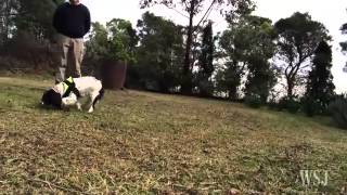 Dogs Sniff Out Pesky Weeds In Australia
