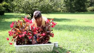 How to Plant a Begonia : Begonias