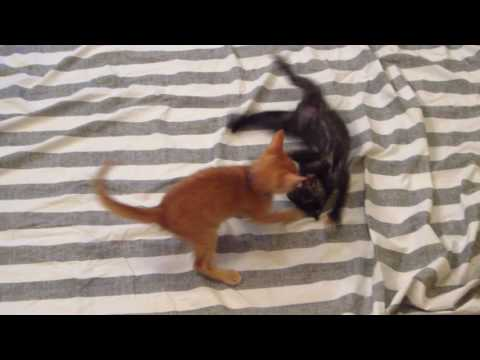 Dash Vs. Everest - Two Foster Kittens Fighting & Playing - 7 Weeks Old