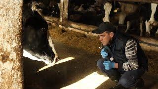 Следим за здоровьем коровы после родов. ИНСТРУМЕНТЫ И ТЕСТЫ