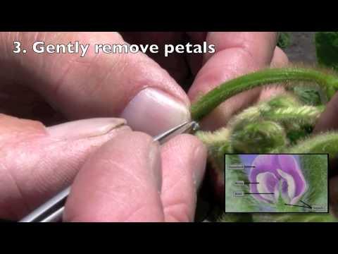 Making soybean genetic crosses