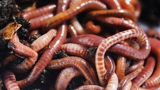 Earthworms Cluster For Defense, Gather On Highway