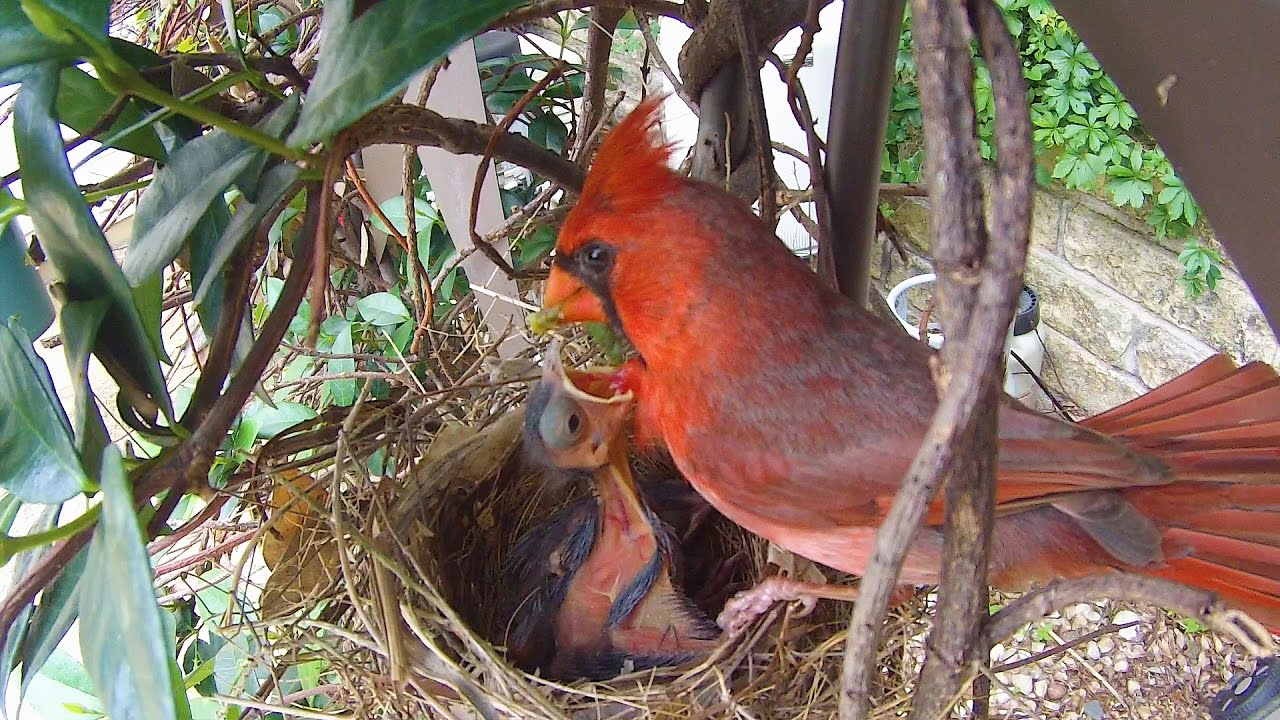 Cardinal Babies 2 -Daddy Cardinal Feeds The Baby Birds