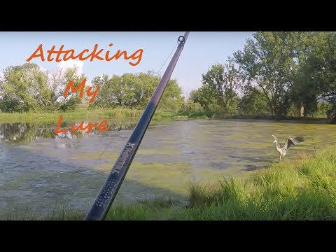 CRANE CHASES Lure While FROG Fishing!!!