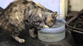 Кошка пьет воду лапой))