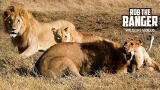 Big Lion Breaks Spine Of Younger Male | Explanation (Fixed Audio)
