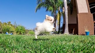 Talia the Tiny PomChi Hybrid Female Puppy for sale near Escondido, CA.