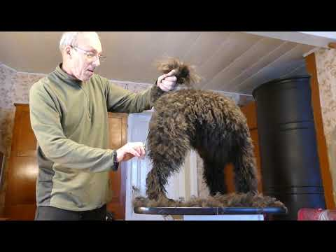 Felallo-Fulu Maasik : Grooming a pumi part 2 - Body