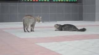 кот джентльмен
