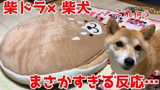 犬をダメにする柴ドラクッションに対する柴犬の反応がまさかだった shiba inu