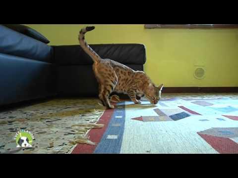 Cucciolandia p.09 (Gatto del Bengala) - Amici Animali Tv - Canale 248