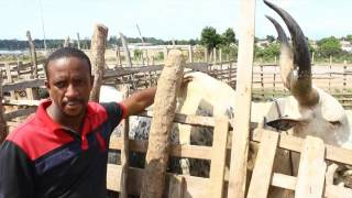 IVOIREAGRO.COM  : M. Ba éleveur de bovins