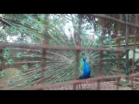 58+  Gambar Burung Merak Yg Cantik  Terbaru